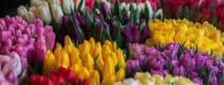 spring tulips multicolor